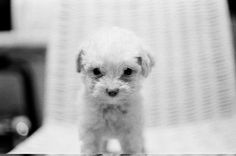 Puppy Poodle - Shot by Fabio Riesemberg.