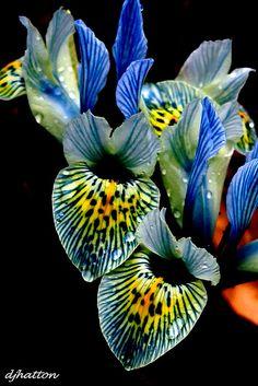 Iris Taken in a Cheshire garden on a sunny Feb dayTaken in a Cheshire garden on a sunny Feb day Strange Flowers, Unusual Flowers, Rare Flowers, Types Of Flowers, Amazing Flowers, Beautiful Flowers, Blue Iris Flowers, Dwarf Iris, Exotic Plants