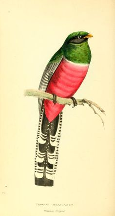 1852, v. 2 - Zoological illustrations, or, Original figures and descriptions of new, rare, or interesting animals, selected chiefly from the classes of ornithology, entomology, and conchology, and arranged according to their apparent affinities. - Biodiversity Heritage Library