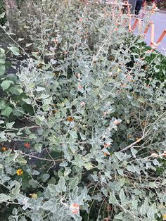 With blooms like fireworks, Desert/Apricot Globmallow may still bring a little orange or yellow to the party, but it is well worth the pop of contrary color to have this wildly joyous bank of silver in the garden. #CaliforniaNativePlants