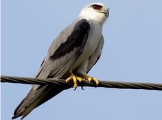Black Shouldered Kite (Elanus axillaris)