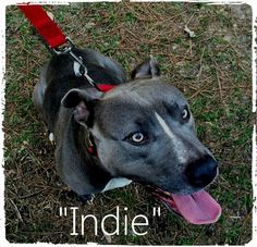 Indie, an original Pineville Pittie!