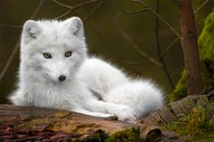 arctic fox - what a gorgeous animal!