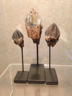 Triceratops teeth growth series uploaded in Dinosaur Fossils collection: Triceratops rooted teeth growth series  Genus: Triceratops horri...