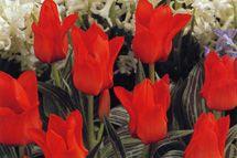 Tulppaani 'Red Riding Hood'