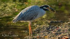 black crowned night heron Heron, Old Friends, Birds, Yellow, Animals, Night, Black, Animales, Animaux