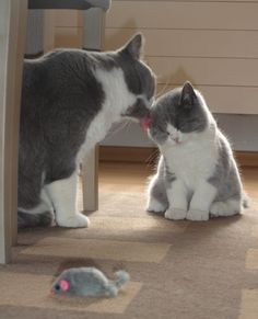 Me wash u 1lst. Then u ken play with ur mousie toy. British Shorthair cats.