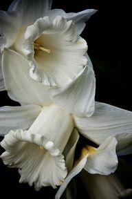 Buttercream Daffodils