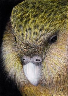 The Kakapo. The Kakapo is a big parrot. A really big parrot, it's the heaviest there is. The Kakapo is native to New Zealand but the. Beautiful Horses, Beautiful Birds, Animals Beautiful, Bird Pictures, Pictures To Paint, Kakapo Parrot, Animals And Pets, Cute Animals, New Zealand Art