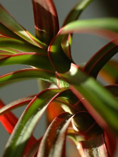"""Plants That Grow Really Well in Darker Bedrooms, Dracaena. Dracaena  The genus dracaena is huge and contains plants that range wildly in color, size, and shape. However , they have in common their ability to thrive in darker places with much less water and attention than conventional houseplants. You may recognize the common """"corn plant"""" dracaena because it is frequently used in commercial areas."""