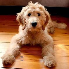 My Goldendoodle puppy, June bug! Mini Goldendoodle, Goldendoodles, Goldendoodle Haircuts, Labradoodles, Goldendoodle Grooming, Puppies And Kitties, Cute Puppies, Cute Dogs, Doggies