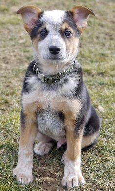 I want a cattle dog when i get my own place. Maya will have to live.. I want to name him Rodeo. :)