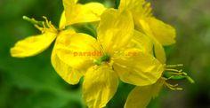 Rostopasca și binefacerile ei fără număr   Paradis Verde