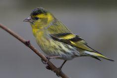 Czyż (Carduelis spinus). Yellow Birds, Free, Animals, Animales, Animaux, Animal, Animais