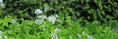 Zevenblad vind je in tuinen, bermen en velden.   Het houdt van schaduwrijke plaatsen, en je vindt ze dan ook vaak langs de heggen in tuinen en op vochtige gronden. Zevenbla
