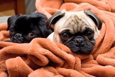 A group of pugs is called a grumble.  12 Snuffly Facts About Pugs | Mental Floss