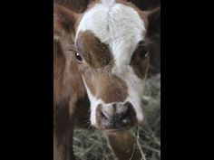 This is the incredible story of an abandoned calf and an elderly cow who was so compassionate that it almost cost her her life. She not only adopted the little one, but actually started lactating, …
