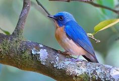 Tickell's Blue Fly catcher