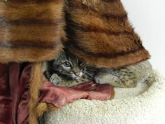 A timid baby bobcat finds comfort in fur collected by and donated from Born Free USA, at Wildlife Rescue & Rehabilitation  in Texas. PHOTO: Sarah Hanners