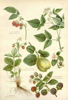 146217 Fragaria vesca L. / Losch, F., Kräuterbuch, unsere Heilpflanzen in Wort und Bild, Zweite Auflage, t. 28, fig. 4 (1905)