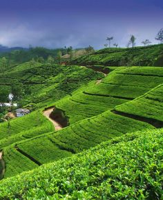 Tea estates in Kandy, Sri Lanka. These are so beautiful and so British. They roll for hours as you drive through inland Sri Lanka. Voyage Sri Lanka, Places To Travel, Places To See, Sri Lanka Holidays, Just Dream, Holiday Destinations, Travel Inspiration, Beautiful Places, Beautiful Scenery