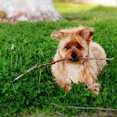 My Dog Pom-Yorkie. Baby Dexter what you have there?. #adventurewithbabydexter @bunbunnysmile