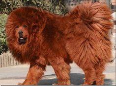 Estas son la razas de perros más caras del mundo - A Fondo | diariouno.com.ar