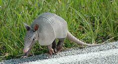 Spotlight on: Baby Armadillos! running-baby-armadillo – Baby ...