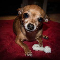 Chihuahua with bone