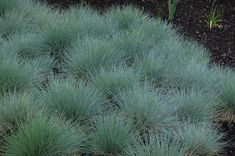 Image result for festuca ovina