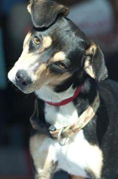 Lonnegan - Rat Terrier Mix
