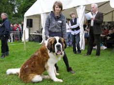 St. Bernard stud dog available full papers
