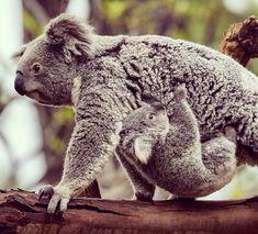 Hang on tight, little baby koala on We Heart It.