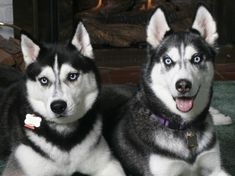 Siberian Husky - 37 Pictures
