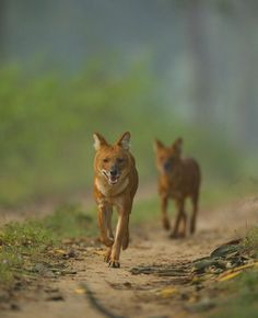 Google Image Result for http://www.lifescapes.org.in/wp-content/uploads/2009/10/Dhole.jpg