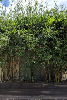 118 Best Bamboo Plants Images In 2019 Bamboo Plants