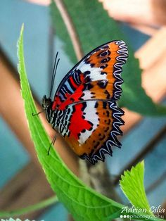 ˚Malay Lacewing Butterfly