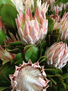 One of the most well known Protea Plants, Protea 'Pink King' also known as King Protea, is often used in floristry, it has bright green foliage and large flower heads Protea Plant, King Protea, Rare Flowers, Bright Green, Succulents, Pure Products, Plants, Pink, Trees