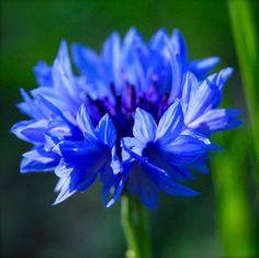 Centaurea Cynus. Cornflowers. 'Blue Ball' Grow from seed March or April | Higgledy Garden