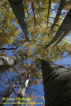 Gazing skyward in the middle of a fall aspen grove, near Ohio Creek, West Elk Mountains, Colorado by The Bright Edge - Photography by Anne Slattery - IMG_A_49820 | Flickr - Photo Sharing!