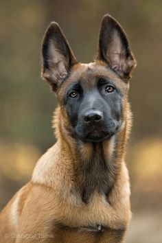 Malinois puppy!  Cute!  From mostlydogsmostly.tumblr.com.  #dogs #dogbreeds