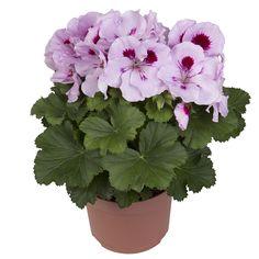 Elegance Lavendel Splashed #franse #geranium #edelgeranie #regal #pelargonium #garden #plants #flowers