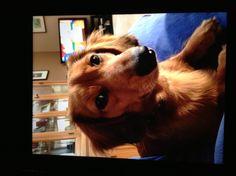 Cute dashound