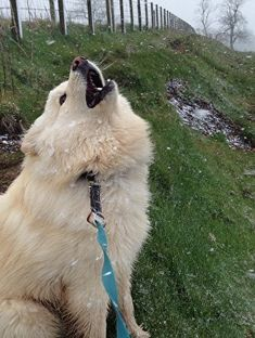 Infindigo Mailat Koru catching snowlakes Husky, Corgi, Puppies, Animals, Animaux, Corgis, Animal, Animales, Husky Dog