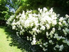 Iceberg Rose Hedge | List of Disease Tolerant Roses | The Georgia Gardener