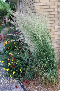 Feather Reed Grass (Ornamental)