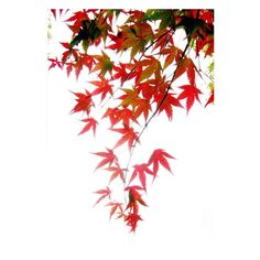 14 in. x 20 in. Japanese Maple Leaves Canvas Art