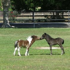 Two baby miniature horses kissing