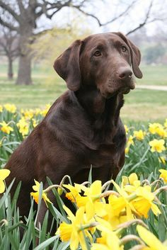 Chocolate Labrador Retriever Posing In The Daffodils I Love Dogs, Cute Dogs, Awesome Dogs, Chocolate Labrador Retriever, Retriever Puppies, Labrador Retrievers, Yorky, Most Popular Dog Breeds, Tier Fotos