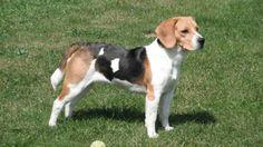Le chien du petit garçon était un beagle âgé de 13 ans. (Image d'illustration)[Taz80 / SEDIRI Eddy / Wikicommons]